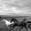 Free Range Running Horses by Steve McKinzie