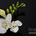 Freesia On Black by Linda Bianic