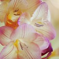 Freesia Sp by Maria Mosolova/science Photo Library
