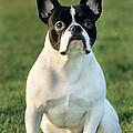 French Bulldog by Johan De Meester
