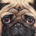 French Bulldog by Martin Fry