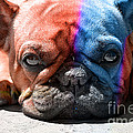 French Bulldog by Marvin Blaine
