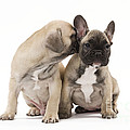 French Bulldog Puppies by Jean-Michel Labat