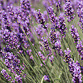 French Lavender by Barbara McMahon