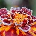 French Marigold Named Durango Red Outlined With Frost by J McCombie