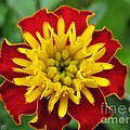 French Marigold Named Solan by J McCombie