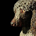 French Poodle Standard by Diana Angstadt