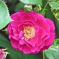 French Rose by Sonali Gangane