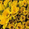 Fresh Daffodils  by Garry Gay