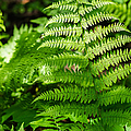 Fresh Fern - Featured 2 by Alexander Senin