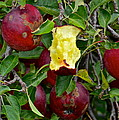 Fresh Fruit by Frozen in Time Fine Art Photography