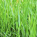 Fresh Grass by Sabine Jacobs