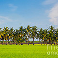 Fresh Green Rice Field by Pushish Donhongsa