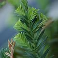 Fresh Growth Redwood by Ben Upham III