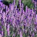 Fresh Lavender  by Elizabeth Gaubeka