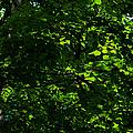 Fresh Linden Tree Foliage - Featured 2 by Alexander Senin