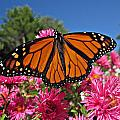 Fresh Monarch Butterfly by MTBobbins Photography