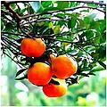 Fresh Orange On Plant by Jeelan Clark