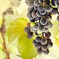 Fresh Ripe Grapes by Mythja  Photography