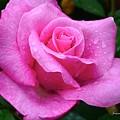 Fresh Sweet Surrender Rose by Jeannie Rhode