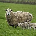 Freshly Made - Winter Lambs by Belinda Greb