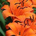 Freshly Showered Tiger Lilys by Jennifer E Doll