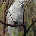 Friendly Cockatoo by Judy Whitton