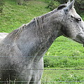 Friendly Gray Horse by Tina M Wenger