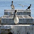 Pelican Friends by Bob Slitzan