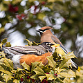 Friends Robin And Cedar Waxwing by Terry DeLuco