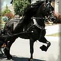Friesian Driving by Royal Grove Fine Art