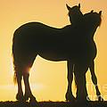 Friesian Horses by Gabriele Boiselle