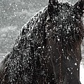 Friesian Snow by Fran J Scott