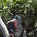Frigate Bird- Hawaii V2 by Douglas Barnard
