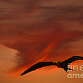 Frigate Bird by Ron Sanford