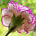 Frilly Carnation by Gill Billington