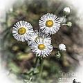 Fringed Daisy by Grace Grogan