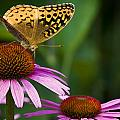 Fritellary On Cone Flower by Michael Dougherty