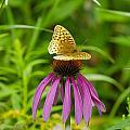 Fritilarie Butturfly On Purple Cone Flower by David Tennis