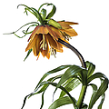 Fritillaria Imperialis by Endre Balogh