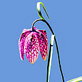 Fritillaria Meleagris - Leif Sohlman by Leif Sohlman