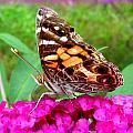 Fritillary Butterfly  by Kim Galluzzo Wozniak
