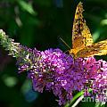 Fritillary Butterfly  by Mark Dodd