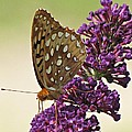 Fritillary Butterfly On Buddleia by MTBobbins Photography