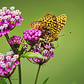 Fritillary Butterfly Square Format by Christina Rollo