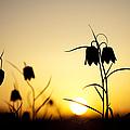 Fritillary Flower Sunset by Tim Gainey