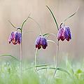 Fritillary Morning by Tim Gainey