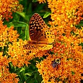 Fritillary On Butterfly Weed by Kathryn Meyer