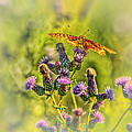 Fritillary On Thistle by Susan Capuano