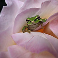 Frog And Rose Photo 1 by Cheryl Hoyle